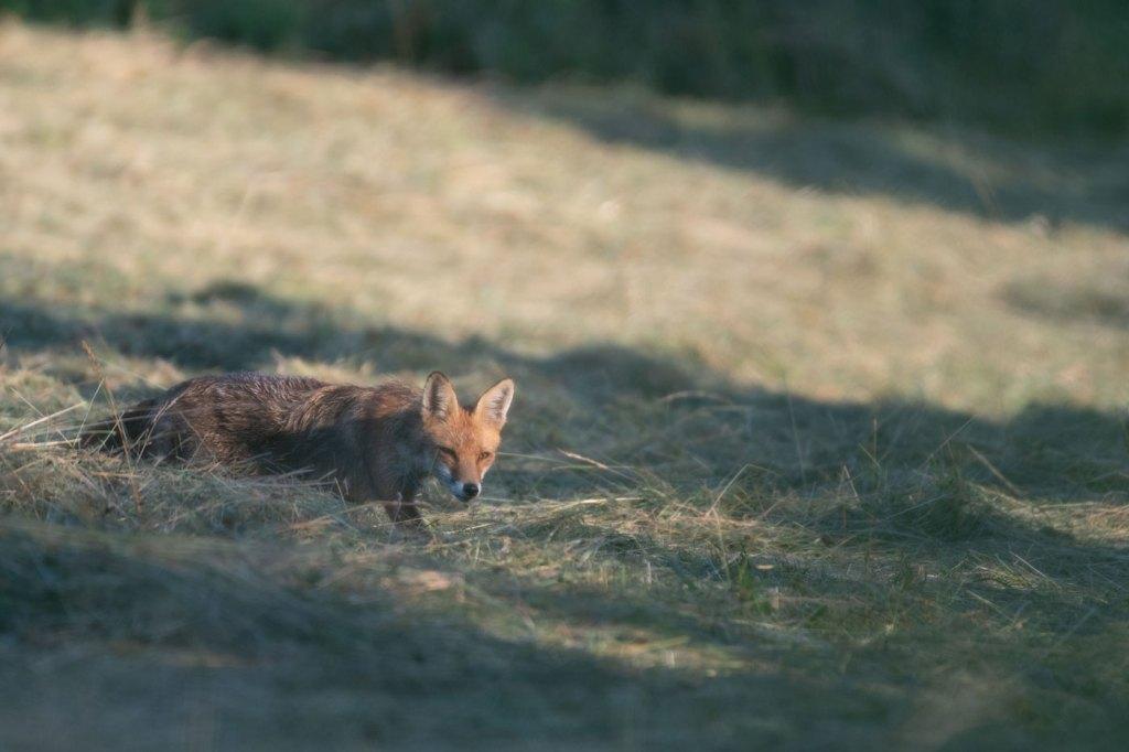 vulpea roșie sau vulpea-vulpes vulpes - Wildlife photography-Vulpea la vanatoare de soricei