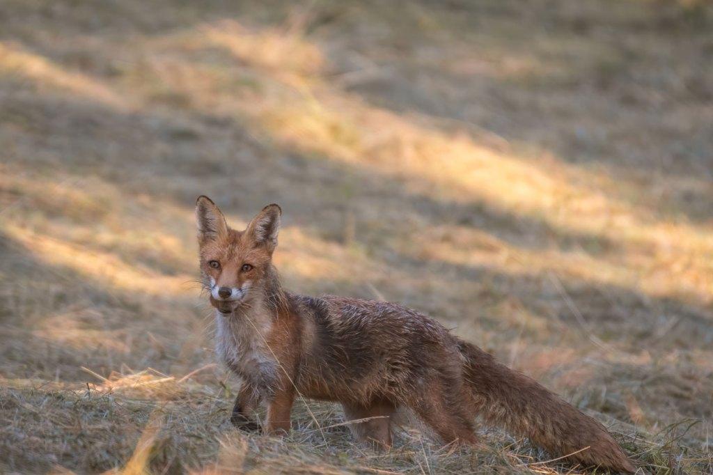 Vulpea rosie - Vanatoare in natura - vulpea roșie sau vulpea-vulpes vulpes