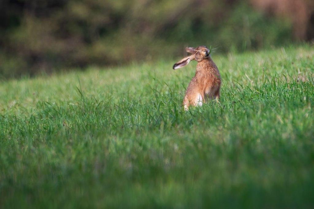 Cel mai haios iepure salbatic - Wildlife - iepure de camp-salbatic
