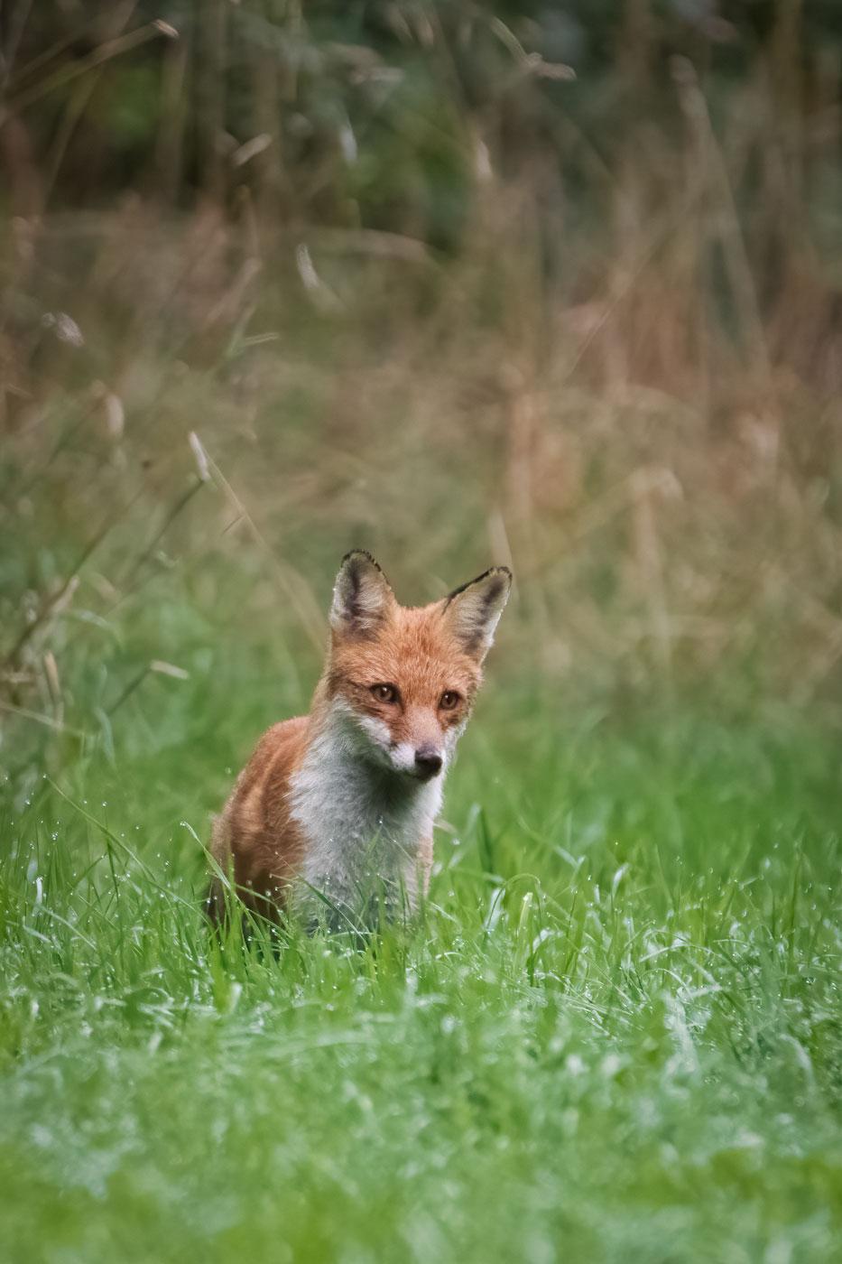 Vulpe rosie-Vulpea-vanatorul cu radarul perfect-Wildlife photography