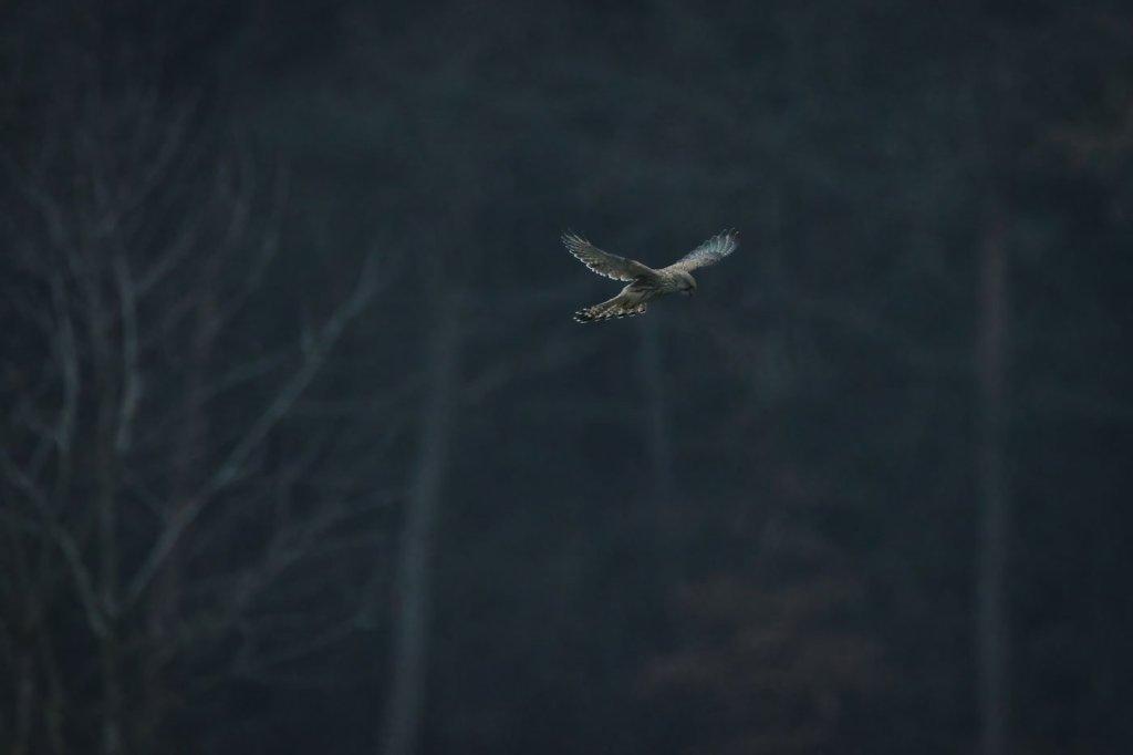 Vânturel roșu-Falco tinnunculus - Vanturel rosu - pasarea sau micul vanator din aer