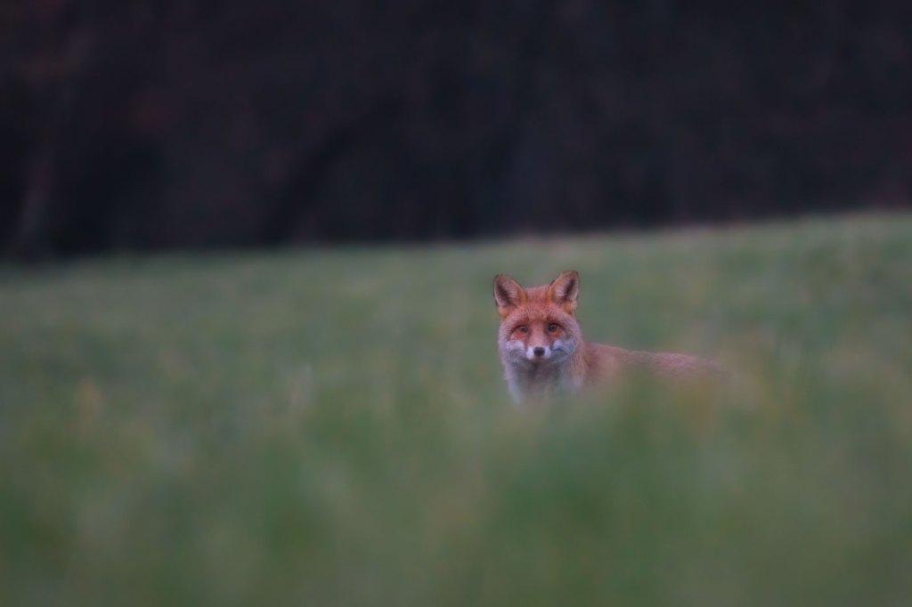 Vulpe rosie pe camp-Vulpea vanatorul perfect-Surpriza la marginea padurii
