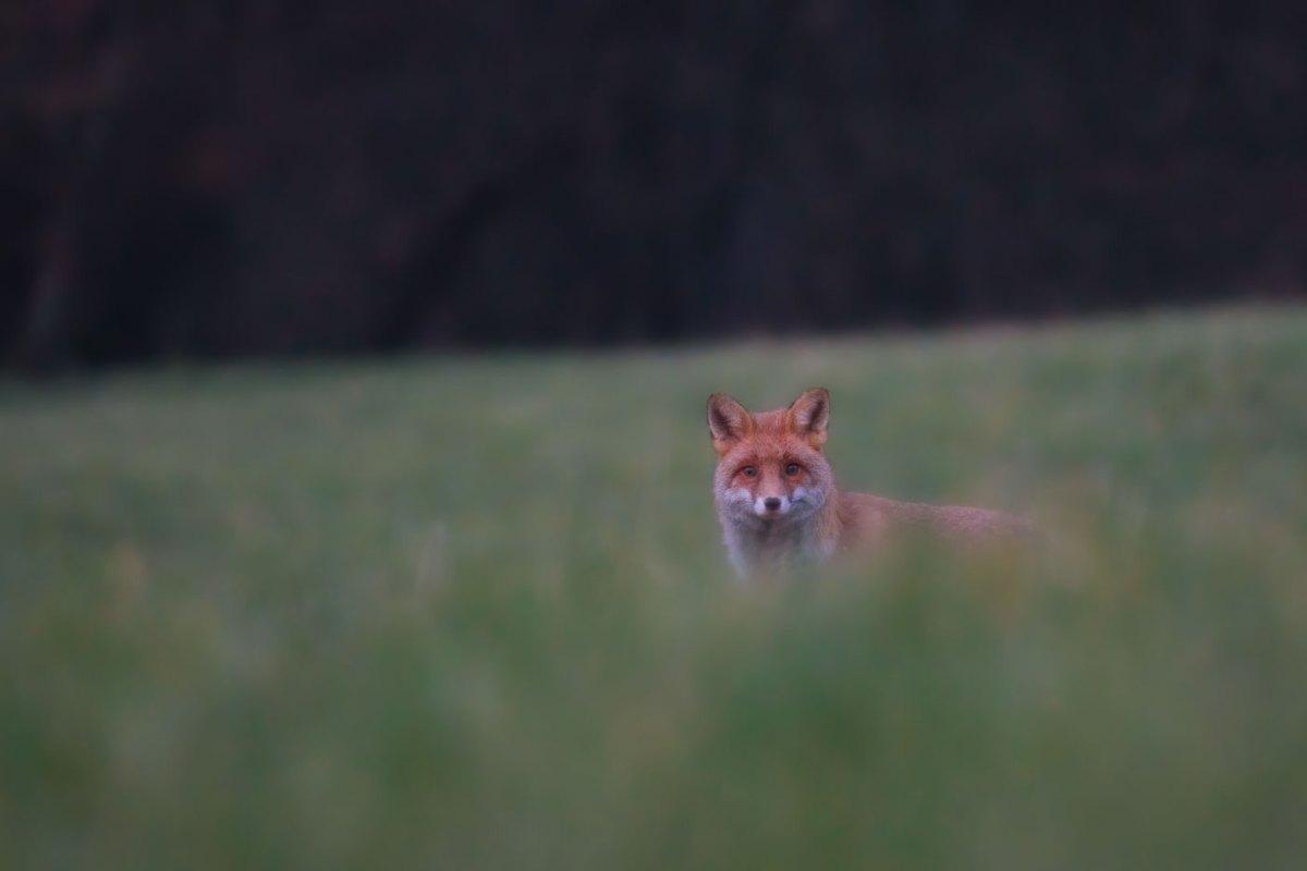 Vulpe rosie - Vulpea-vanatorul cu radarul perfect-Wildlife photography