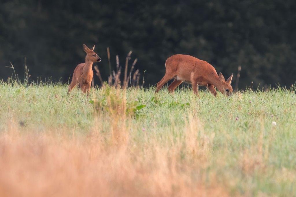 Căprioara pe camp la rasarit - Cum sa fotografiezi căprioare - Wildlife Photography