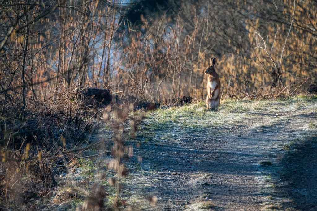 Iepure de câmp-Lepus europeaus-prin padure