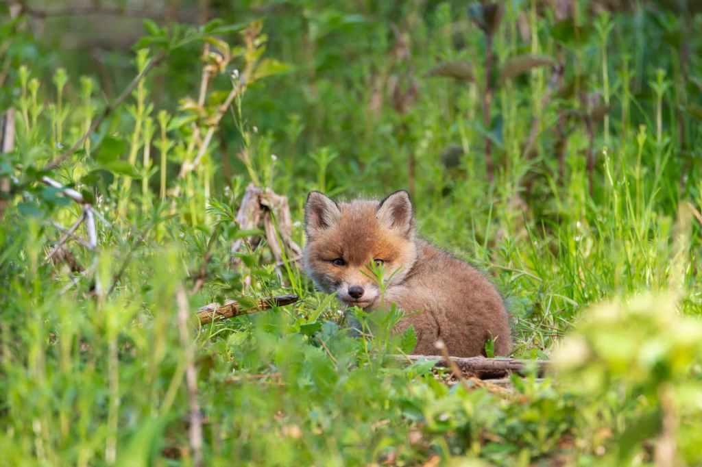 Pui de vulpe in padure - (Vulpes vulpes)-Trei pui de vulpe curiosi - Surpriza din pădure