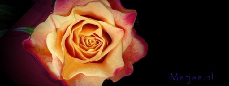 Banner met mooie roos