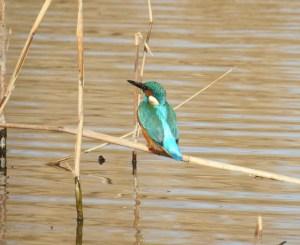 Martin pêcheur sur sa branche