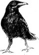 M. K. Noble drawing, The Crow