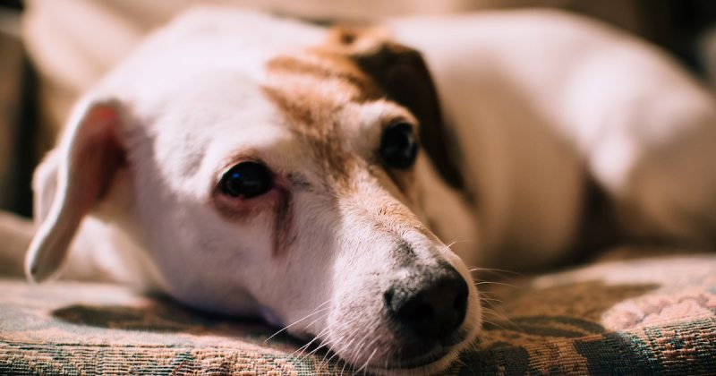 What Causes Tear Stains In Dogs And How