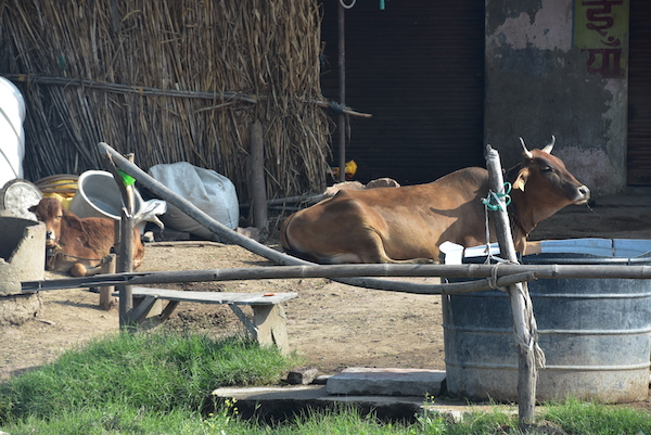 Abhaneri – Rajasthan – Ancient City of Abeneri - cows in India - cows at local homes in Abhaneri