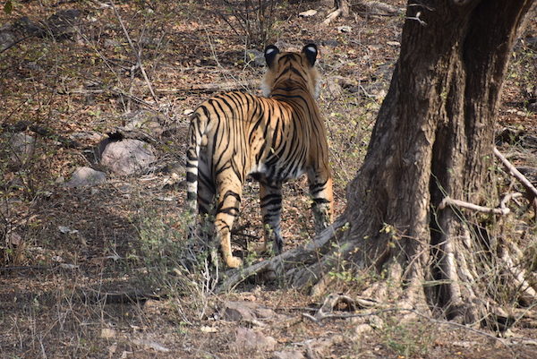 tiger - royal bengal tiger - tiger safari - tigers in the wild - Ranthambore National Park