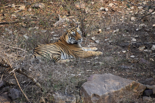 tiger - Royal Bengal Tiger - Ranthambore Tiger Reserve - India - tiger safari - India trip - India travel