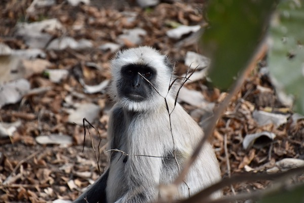Hanuman Langurs - monkeys - monkeys in india - India - Ranthambore - Ranthambore National Forest