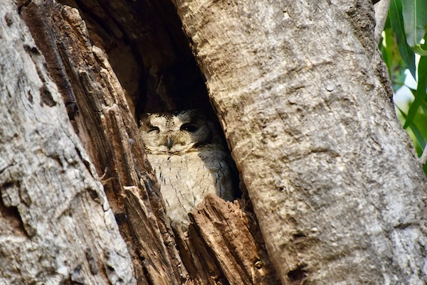 collared scops owl - Ranthambore national Forest - India -India trip -