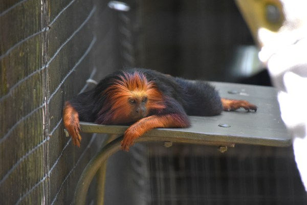 Golden Headed Lion Tamarin at the Brevard Zoo