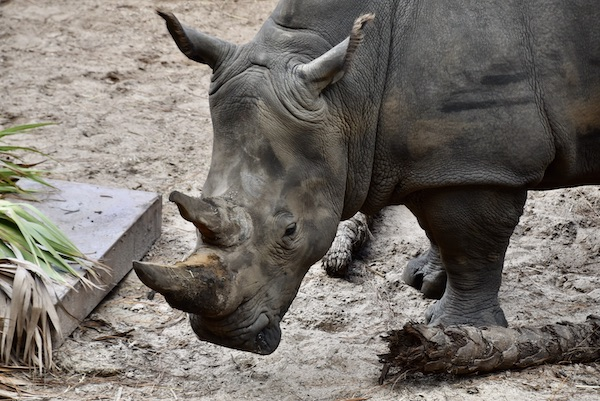 Southern White Rhinoceros at the Brevard Zoo