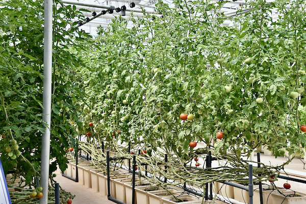 tomatoes being raised in a vertical growing system at EPCOT Living with the Land at Walt Disney World