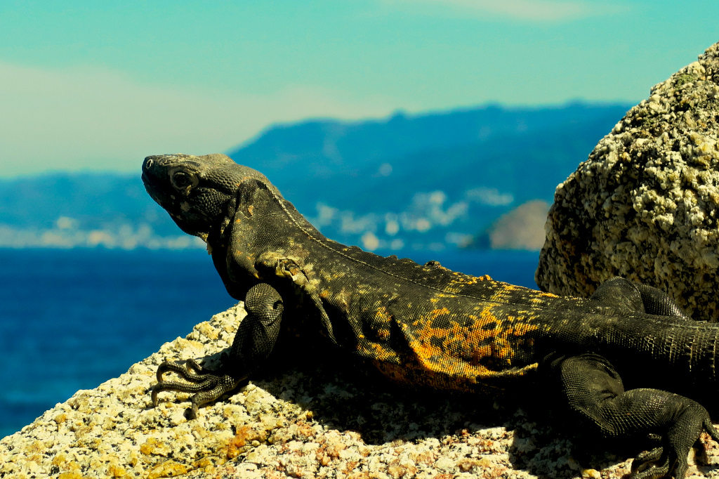 An Iquana sunning on the rocks