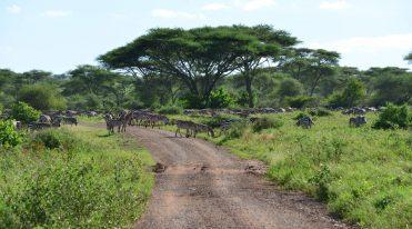 Herds of Zebra
