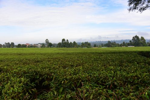 Tea fields on every hillside