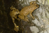 yellow bellied toad Bombina variegata lives in the stiller sections of the river or any pools that form