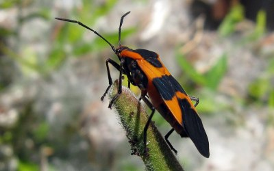 Milkweed Bug infestation of Butterfly Weed