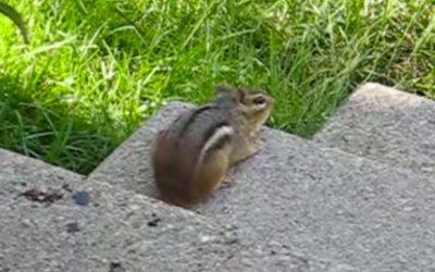 Sound of a chipmunk: Weird chipmunk noise