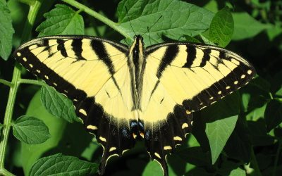 Tiger Swallowtail butterfly, tomato plant, Racine, Wisconsin