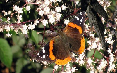 Red Admiral butterfly on Black Elderberry flowers