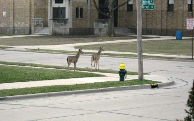 White-tailed deer at Mitchell School, Racine Wisconsin