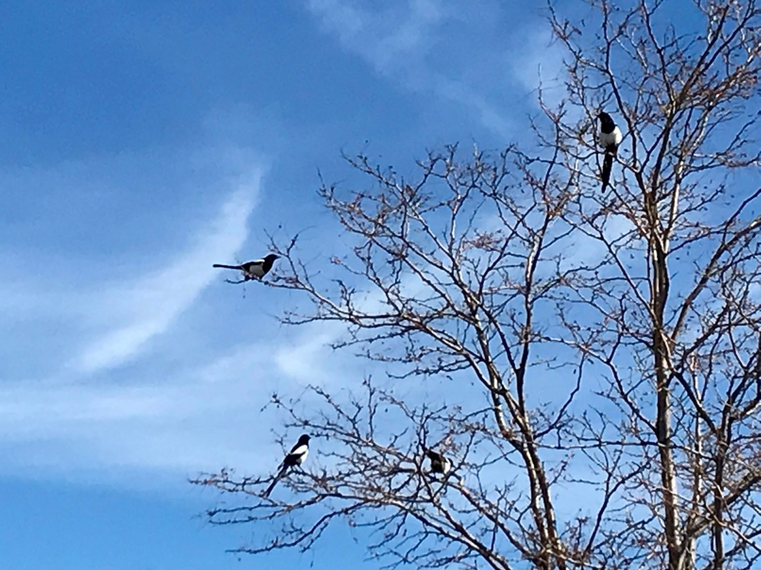 The magpie birds that surround my home meet up.up to decide what is what.