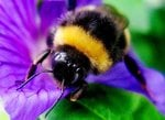bee populations in towns