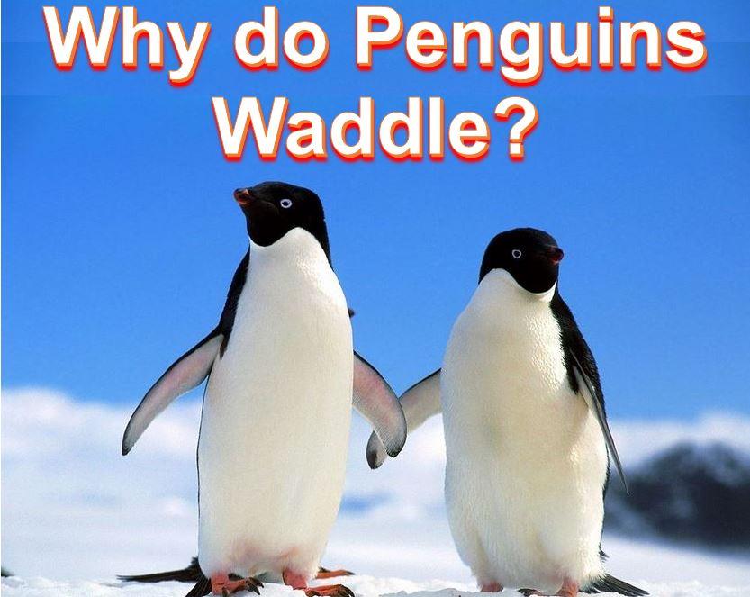 Penguins waddle