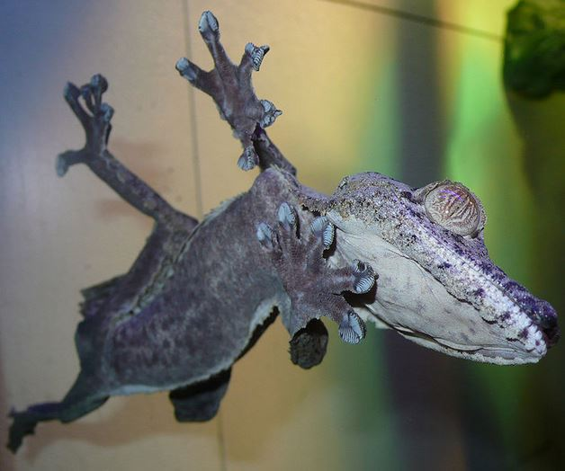 Gecko stuck to glass