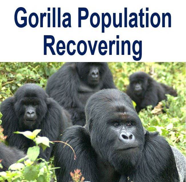 Gorilla population recovering