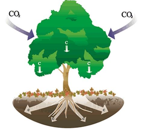 trees consumer carbon dioxide