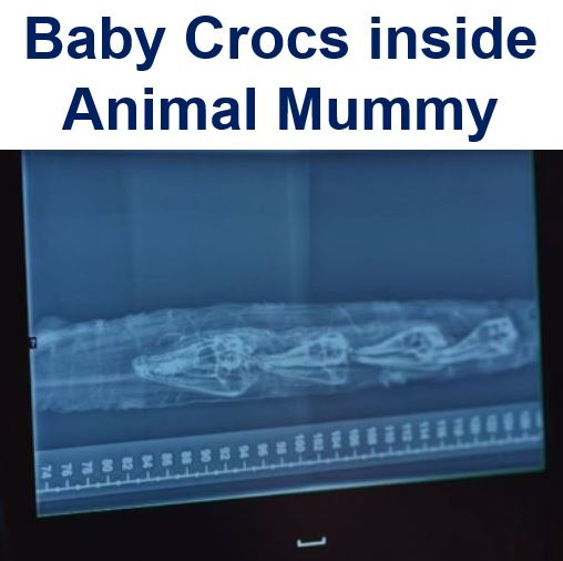 Baby crocs found inside mummy