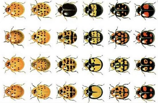 Harlequin ladybirds colours