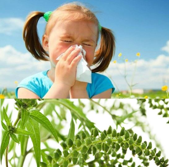 Hay fever ragweed