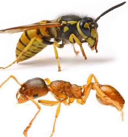 Wasp and pharaoh ant
