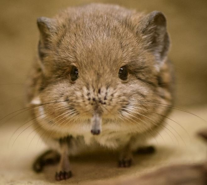 Cheeky elephant shrew