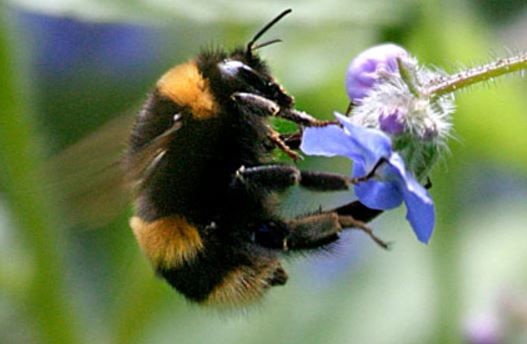 Neonicotinoid pesticides harm Bumble bee