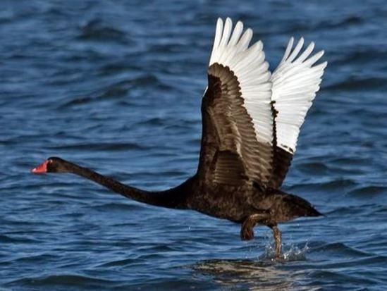 Black swan taking off