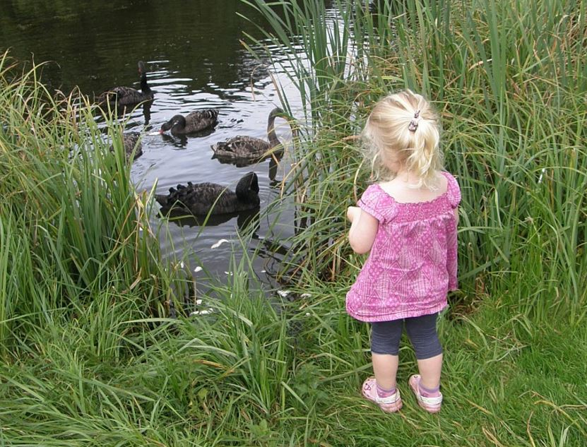 Black swans and little girl