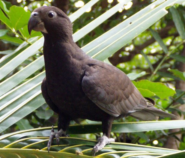 Goth Parrot