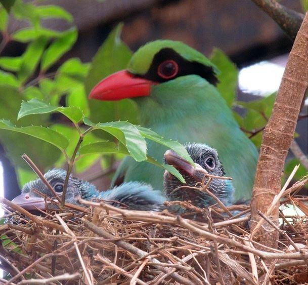 Javan Green Magpie with two fledglings