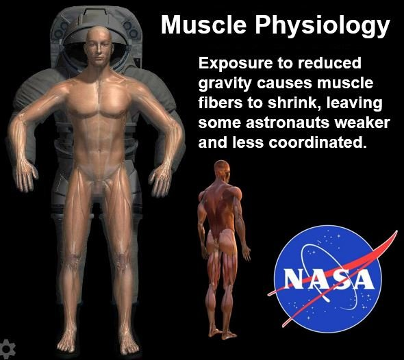 Moss of muscle mass of astronauts
