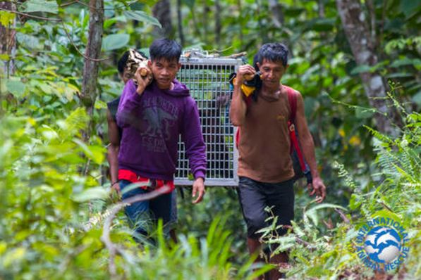 Taking orangutang back to the wild