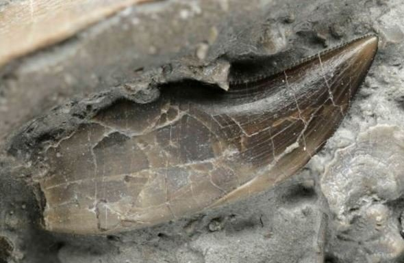 A dracoraptor tooth with serrated edges
